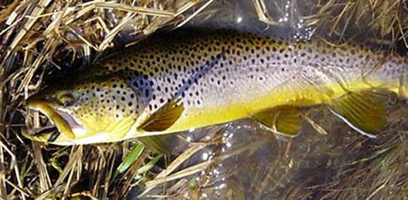 Plona-trout